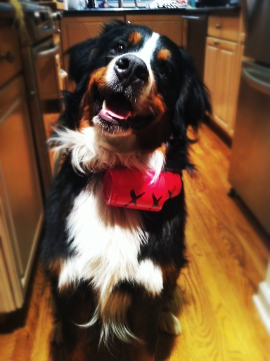 Wally, our wonderfully dopey Bernese Mountain Dog