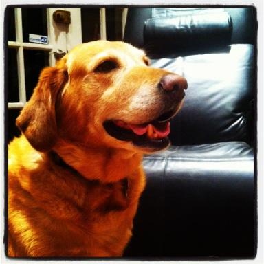 Tycho, our loving Lab-Retriever