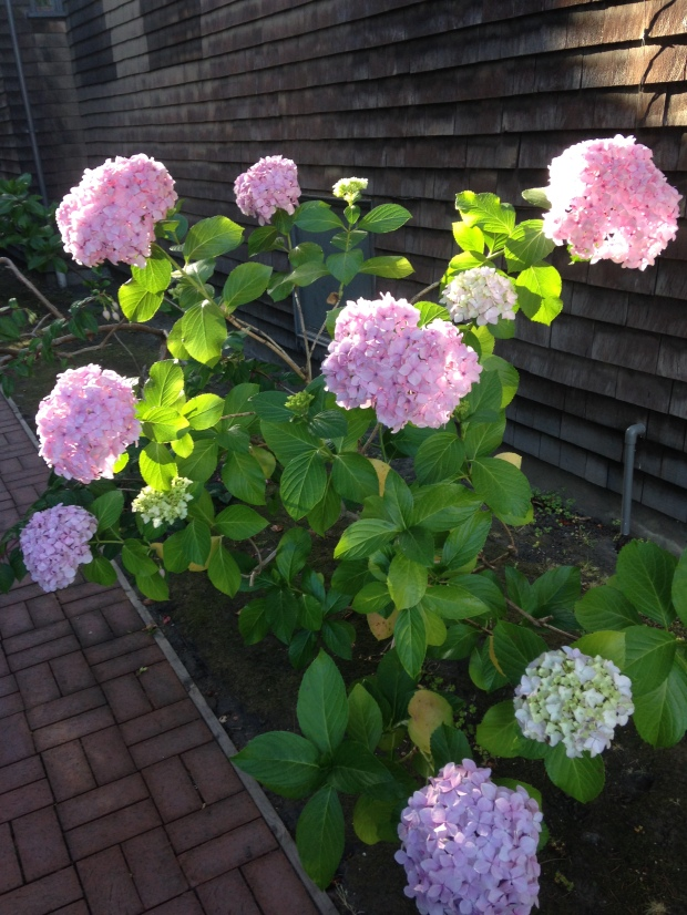 Hydrangeas catching the sun